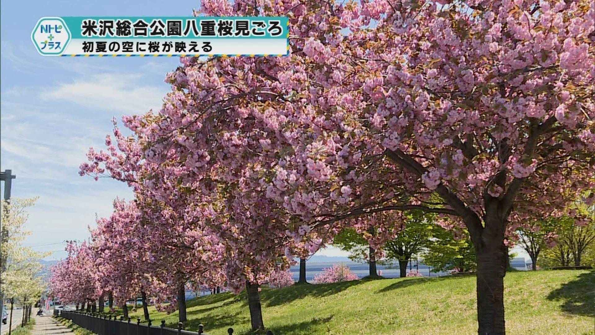 「米沢総合公園八重桜見ごろ」初夏の空に桜が映える