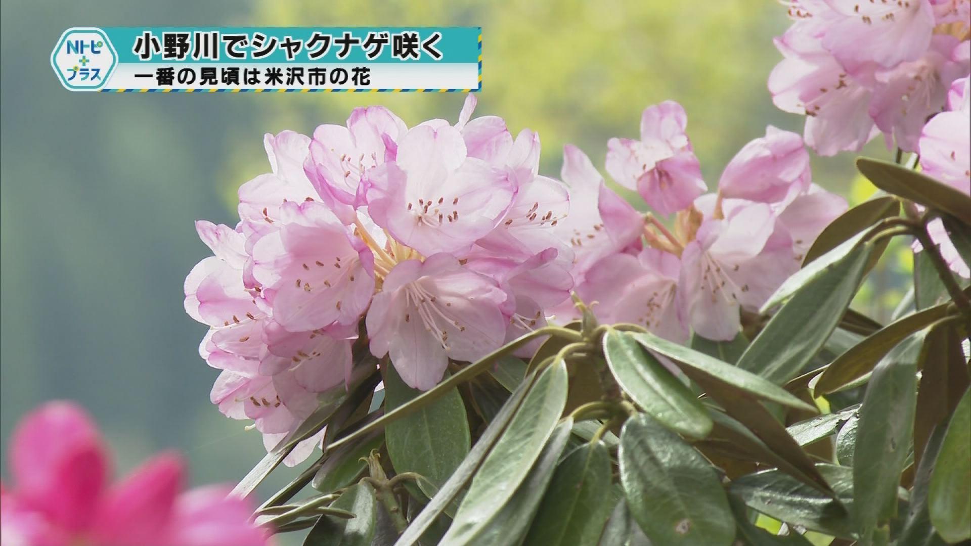 「小野川でシャクナゲ咲く」一番の見頃は米沢市の花