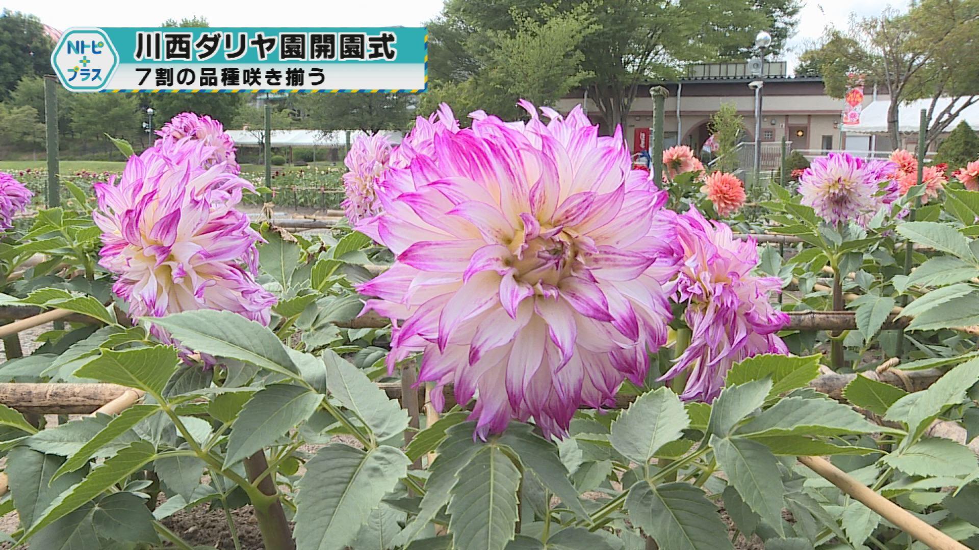 「川西ダリヤ園開園式」7割の品種が咲き揃う