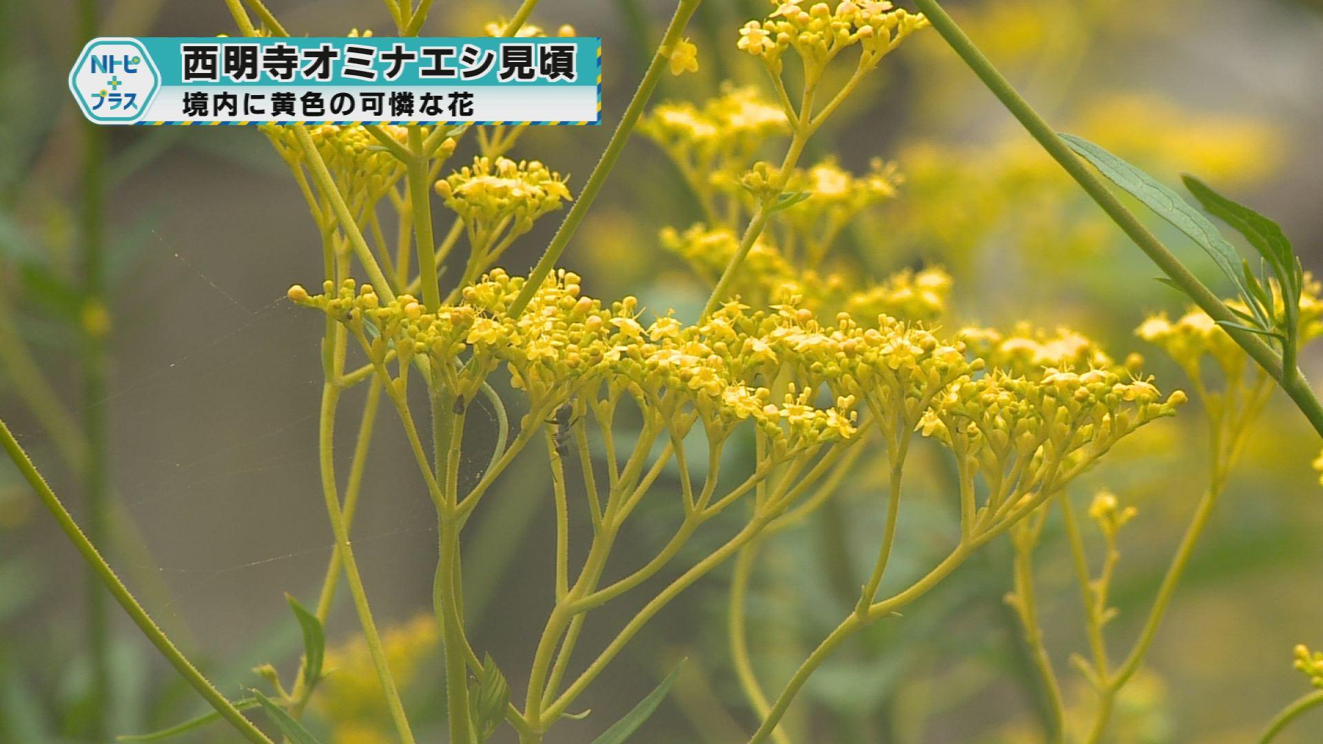 境内に黄色い可憐な花