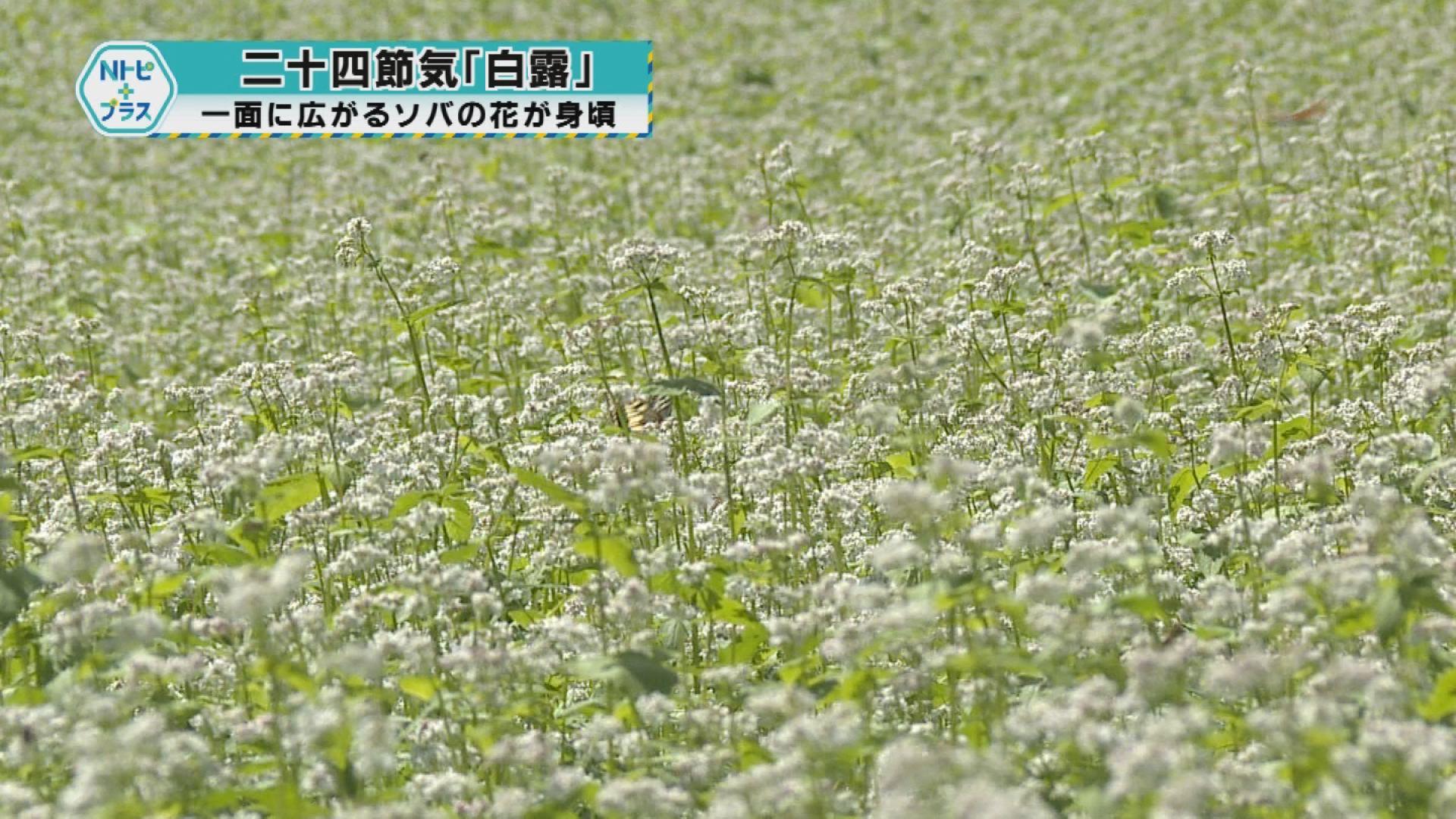 一面に広がるソバの花が見頃