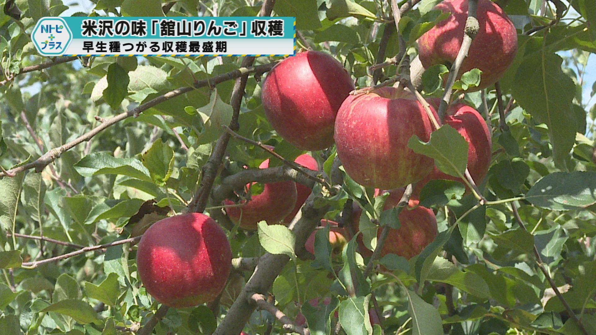 「米沢の味「舘山りんご」収穫」早生種つがる収穫最盛期