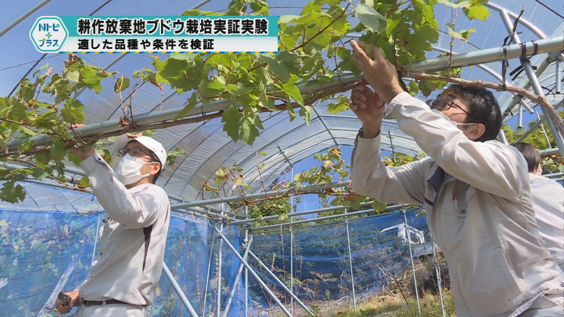 「耕作放棄地ブドウ栽培実証実験」適した品種や栽培方法を検証