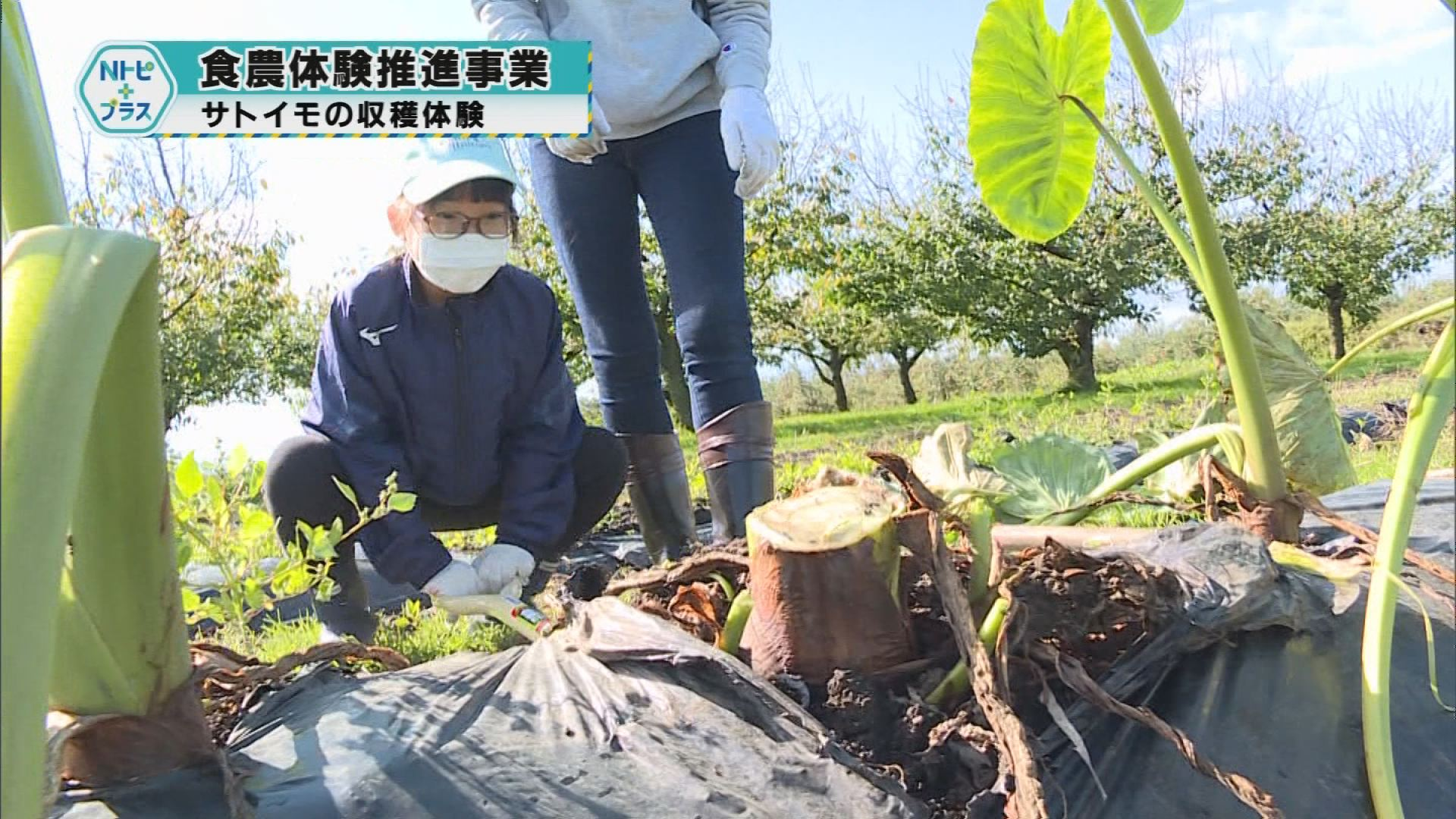 「食農体験推進事業」サトイモの収穫体験