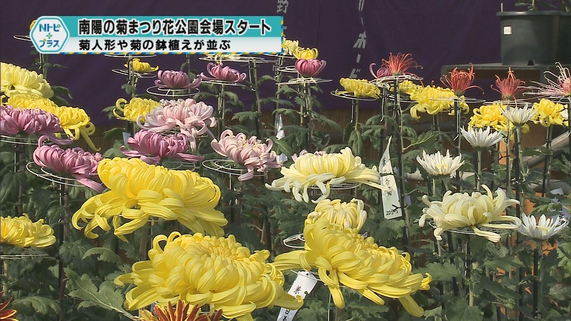 「南陽の菊まつり花公園会場スタート」菊人形や菊の鉢植えが並ぶ